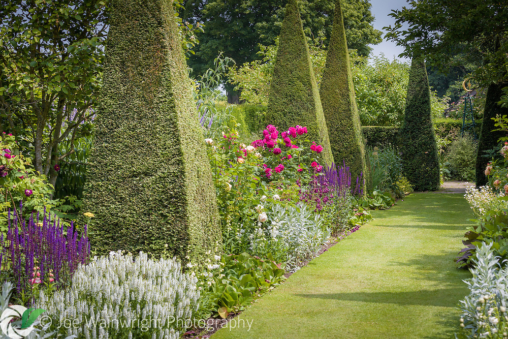 Flowering plants, such as roses, salvia and pentstemons adorn the Yew Walk at Wollerton Old Hall Garden, Shropshire.  Photographed in July. This image is available for sale for editorial purposes, please contact me for more information.