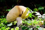 Mushroom in woods on Mt Rainier