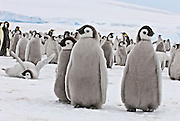 Emperor penguin chick while laying down throws its wings out in celebration while other chicks stand around with more penguins in the background.
