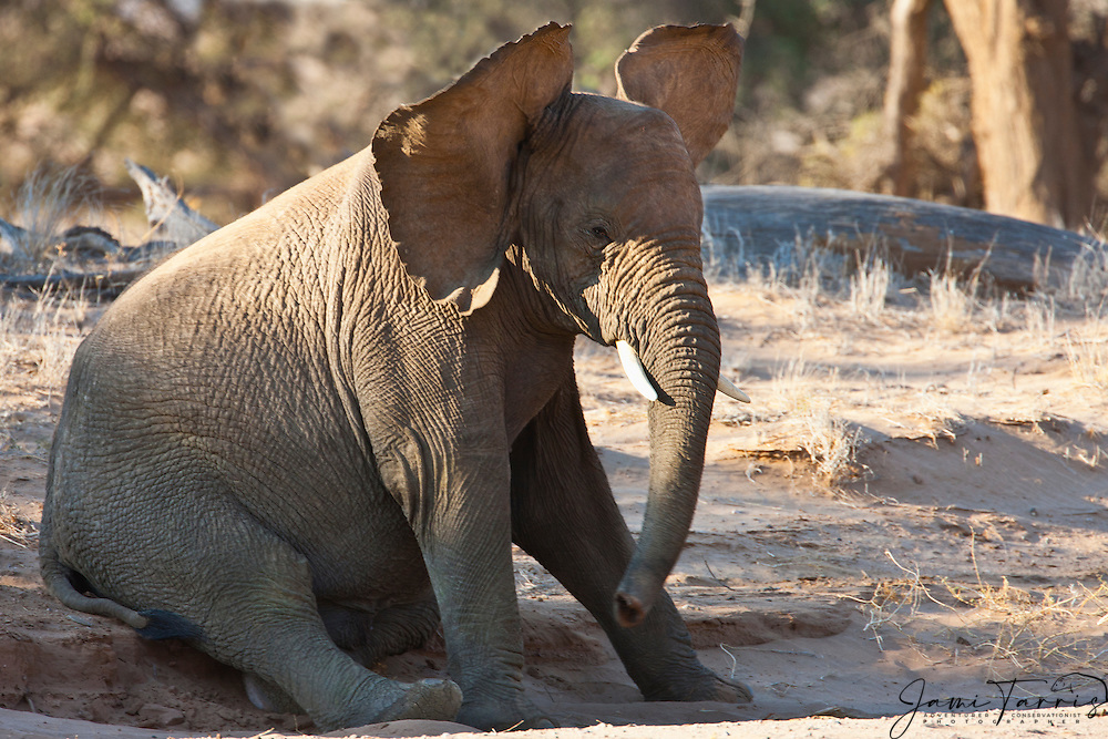 A desert-adapted elephant calf (Loxodonta africana) taking a rest after a rigorous play session  ,Skeleton Coast, Namibia,Africa