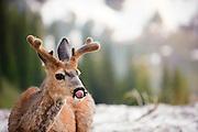 A deer licks his lips in Glacier National Park. Missoula Photographer, Missoula Photographers, Montana Pictures, Montana Photos, Photos of Montana