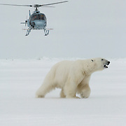 A large male polar bear, sedated from an immobilizing drug, runs from the capture helicopter on the Beaufort Sea ice pack.