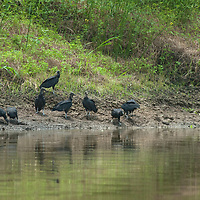 Black vultures (Coragyps atratus) feed on carrion beside the Yanayacu River in Peru's Amazon Jungle.
