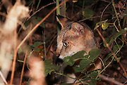 Jungle Cat (Felis chaus) in the grass. sometimes called reed cat or swamp lynx. Photographed in Israel in the wild at night
