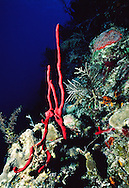 Strawberry Sponge (Mycale) Little Cayman