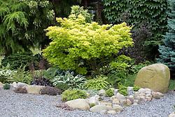 The front garden with a shady planting of hostas, heucheras and ferns beneath Acer shirasawanum 'Aureum' AGM