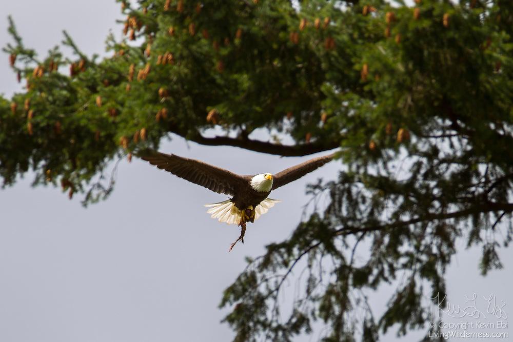 An adult bald eagle (Haliaeetus leucocephalus) flies with prey back to its nest in Heritage Park, Kirkland, Washington.