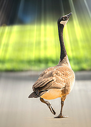 A goose takes a leisurely stroll across the street