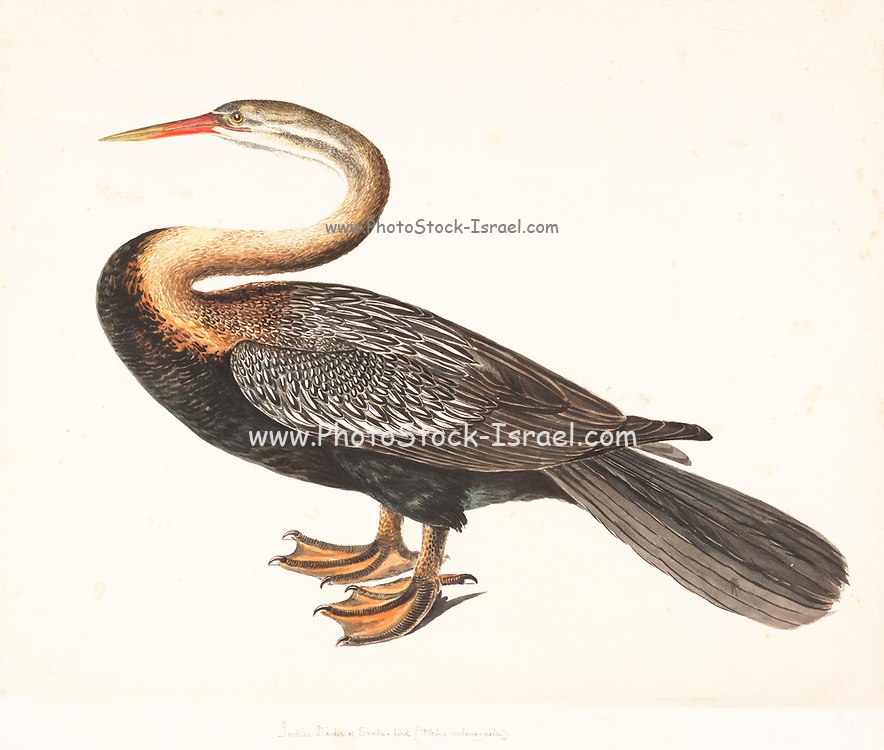 Oriental darter (Anhinga melanogaster) This waterbird, has a long snake-like neck and dagger-like bill that is used to catch fish. It uses its webbed feet to swim underwater. Often, only its head and neck are visible above the water, leading to its other name of snakebird. 18th century watercolor painting by Elizabeth Gwillim. Lady Elizabeth Symonds Gwillim (21 April 1763 – 21 December 1807) was an artist married to Sir Henry Gwillim, Puisne Judge at the Madras high court until 1808. Lady Gwillim painted a series of about 200 watercolours of Indian birds. Produced about 20 years before John James Audubon, her work has been acclaimed for its accuracy and natural postures as they were drawn from observations of the birds in life. She also painted fishes and flowers. McGill University Library and Archives