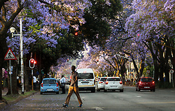 South Africa - Pretoria - 21 October 2020 - Blossoming jacaranda trees on Lilian Ngoyi street in the CBD. <br />