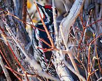 Red-naped Sapsucker. Rocky Mountain National Park. Image taken with a Nikon D300  camera and 80-400 mm VR lens