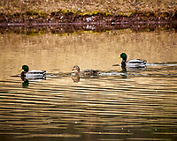 Mallard Ducks at the Sourland Mountain Preserve. Image taken with a Nikon D300 camera and 80-400 mm VR lens (ISO 400, 400 mm, f/5.6, 1/250 sec).