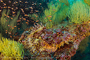 A Scorpionfish, Scorpaena mystes, hides in plain site on a rocky reef in the Galapagos Islands, Ecuador.