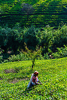 Women picking tea, Mackwoods Labookellie Tea Estate, near Nuwara Eliya, Central Province, Sri Lanka. The stick is used to know how far down to pick the leaves.