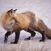 Red Fox, (Vulpus fulva) Adult in sand dunes of Little Sahara. Utah. Captive Animal.