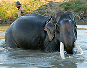 A working Indian Elephant (Elephas maximus indicus) with fine tusks enjoys a bath in a river after a hard day's work in the Kaziranga National Park. Kaziranga, Assam, India.