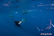 California sea lion, Zalophus californianus, threatens striped marlin, Kajikia audax (formerly Tetrapturus audax ), by blowing bubbles at it while both species are feeding on a baitball of sardines or pilchards, Sardinops sagax, off Baja California, Mexico ( Eastern Pacific Ocean )