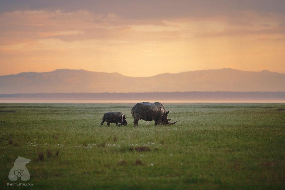 A female rhinoceros and its cub graze near Lake Nakuru, Kenya