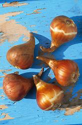 Healthy tulip bulbs ready for planting