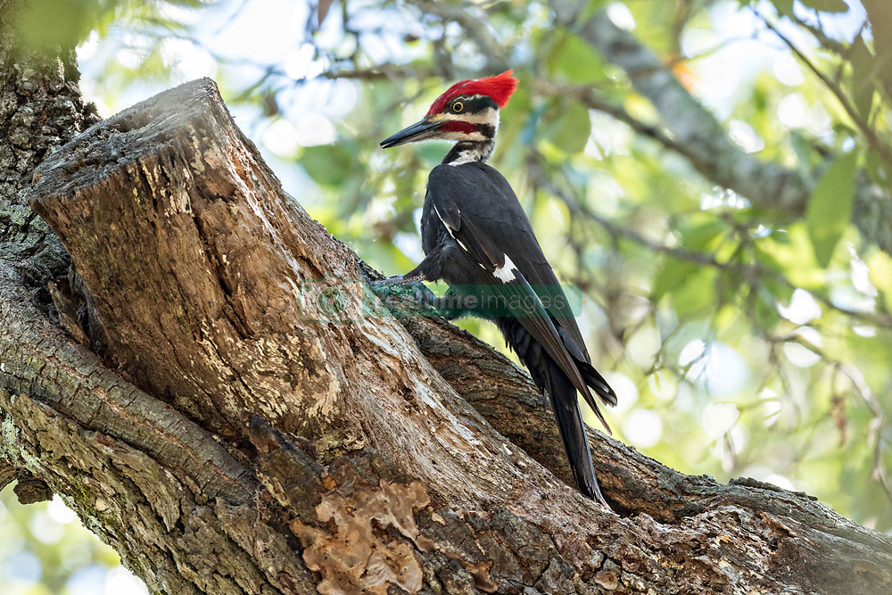 June 3, 2017 - Charleston, South Carolina, United States of America - An adult male southern pileated woodpecker hunts for insects on a live oak tree in Mount Pleasant, South Carolina. The crow sized bird is the second largest woodpecker in North America. (Credit Image: © Richard Ellis via ZUMA Wire)