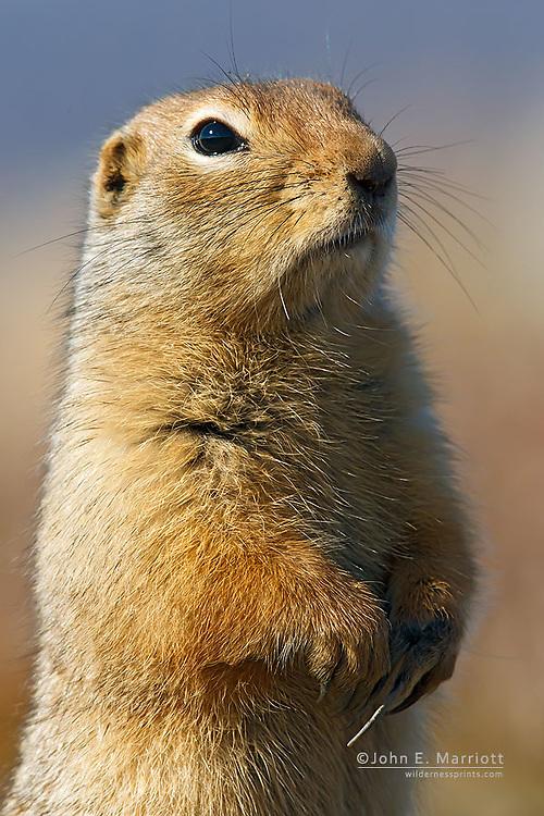 Arctic ground squirrel, Yukon, Canada
