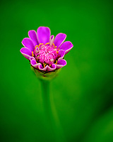 Lavender Zinnia flower. Image taken with a Fuji X-T3 camera and 80 mm f/2.8 OIS macro lens