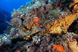 Muraena helena, Mittelmeermuräne, Mediterranean moray,  Elba Italien, Mittelmmer