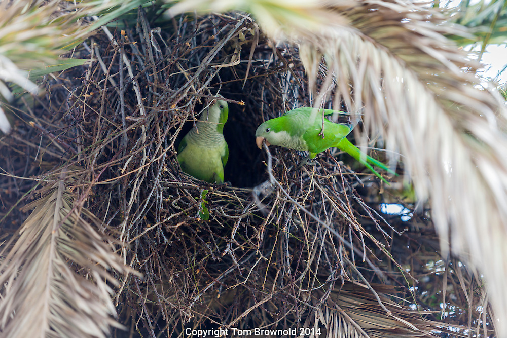 Parrots buiilding a nest in a palm tree