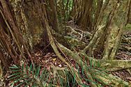 Banyan fig tree, Ficus benjamina, only one single individual tree, Banyan garden protected forest, Kenting National Park, Taiwan