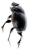 black beetle insect side view