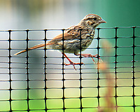 Song Sparrow. Image taken with a Fuji X-T4 camera and 100-400 mm OIS lens.