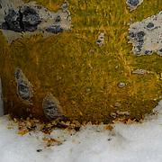 Vole markings from chewing on Aspen bark on tree. Winter.