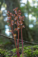 A trio of spotted coralroot orchids growing in the coastal forest on Fidalgo Island. These beautifully spotted terrestrials are found across North America in northern forests from the Pacific Northwest to Newfoundland. Like most coralroots, they are often found on the forest floor in areas devoid of other low-growth/forest floor vegetation. I usually find them by habitat-type, as they seem to grow best in places where a bit of sunlight reaches a permanently dark forest floor, and can be spectacular when a beam of light penetrates the darkness to reveal this beautiful orchid standing tall. Because it lacks chlorophyll, the leaves of this plant do not use photosynthesis to create its own food, but unusually the ovaries of the flower can, in very small amounts. The main source of nutrients is like that of many other non-green plants (called myco-heterotrophs) - they parasitize the vegetative part of underground fungi, in this case - the mushroom family Russulaceae.