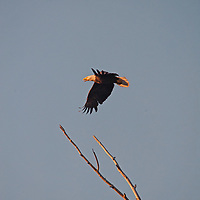 A Bald Eagle (Haliaeetus leucocephalus) flies over Montana's Gallatin Valley near Bozeman.