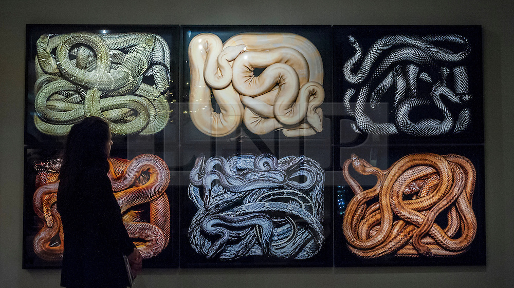 "© Licensed to London News Pictures. 24/06/2015. London, UK.   A visitor looks at Guido Mocafico's ""Snakes"", at the preview of Masterpiece London, the international cross-collecting Fair for art, antiques and design which takes place at The Royal Hospital Chelsea 25 June to 1 July. Photo credit : Stephen Chung/LNP"