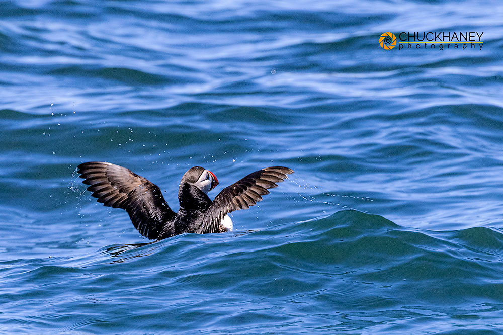 Atlantic Puffins on the water at Machias Seal island, Maine, USA