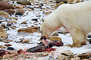 01874-12902 Polar bear (Ursus maritimus) eating Ringed Seal (Phoca hispida)  in winter, Churchill Wildlife Management Area, Churchill, MB Canada