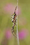 Female wasp spider (Argiope bruennichi) in web. Godlingston Heath, Dorset, UK.