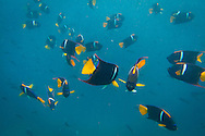 Snorkeling with a school of King Angelfish at Champion Islet near Floreana Island, Galapagos National Park, Galapagos, Ecuador