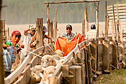 "05 JUNE 2011 - GREER, AZ: Abel Sandoval (CQ ORANGE CLOTH) drives sheep through the pens at the Sheep Springs Sheep Co summer shearing camp northwest of Greer Sunday. Mark Pedersen (CQ), of Sheep Springs Sheep Co, said they drove about 2,000 sheep from Chandler up to their summer pastures near Greer. They were supposed to start shearing on Friday, but didn't start till Friday because of the Wallow Fire. They also run cattle on land southeast of the sheep pasture, closer to Greer. Pedersen said they were prepared to move both the cattle and the sheep if they had to. He said the biggest problem with the smoke was that it bothered the sheeps' lungs much the same way it bother people's lungs. The fire grew to more than 180,000 acres by Sunday with zero containment. A ""Type I"" incident command team has taken command of the fire.  PHOTO BY JACK KURTZ"
