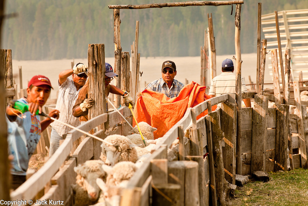 """05 JUNE 2011 - GREER, AZ: Abel Sandoval (CQ ORANGE CLOTH) drives sheep through the pens at the Sheep Springs Sheep Co summer shearing camp northwest of Greer Sunday. Mark Pedersen (CQ), of Sheep Springs Sheep Co, said they drove about 2,000 sheep from Chandler up to their summer pastures near Greer. They were supposed to start shearing on Friday, but didn't start till Friday because of the Wallow Fire. They also run cattle on land southeast of the sheep pasture, closer to Greer. Pedersen said they were prepared to move both the cattle and the sheep if they had to. He said the biggest problem with the smoke was that it bothered the sheeps' lungs much the same way it bother people's lungs. The fire grew to more than 180,000 acres by Sunday with zero containment. A """"Type I"""" incident command team has taken command of the fire.  PHOTO BY JACK KURTZ"""