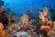 Coral reef in Komodo National Park in Komodo, Indonesia. The reefs in Komodo are among the richest in the world and home to over 1,000 types of fish, nearly 400 varieties of coral, 70 kinds of sponges and several types of whales, sharks, turtles and dolphins.