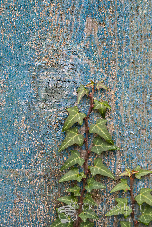 An ivy vine grows on an old fence in Oregon. The growing vine provides a good balance visually with the old, weathered painted wood boards.
