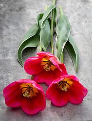 Tulipa 'Aphrodite'