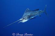 Atlantic sailfish, Istiophorus albicans (c-r)<br /> La Guaira Bank, Venezuela ( Caribbean Sea / Western Atlantic Ocean )