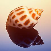 Studio image of a spiral sea shell