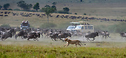 Chaos spreads among the wildebeests when a lioness starts hunting. Maasai Mara, Kenya.