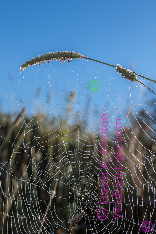 Dew decorates an orb web in the Valle Grande, suspended from the seed head of Timothy grass, © David A. Ponton [Prints to 8x12, 16x24, 24x36 or 40x60 in. with no cropping]
