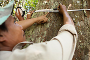 Local staff members measure the diameter of a timber tree (Shorea laevis) at the Arsari Lestari conservation forest in Penajam Paser Utara district, East Kalimantan, Indonesia, on March 12, 2016. The plan for the Arsari Lestari conservation area is to preserve the virgin rainforest while creating value for ICTI and local people in a production-protection system that reduces emissions. <br /> (Photo: Rodrigo Ordonez)