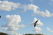 Yellow-billed Stork (Mycteria ibis) in flight at Lake Naivasha, Kenya